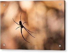 Autumn Spider Acrylic Print