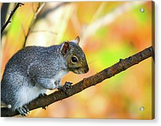 Acrylic Print featuring the photograph Autumn Squirrel by Karol Livote