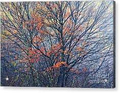 Autumn Sugar Maple In Fog Acrylic Print by Thomas R Fletcher