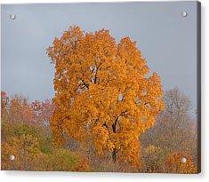 Autumn Tree Acrylic Print by Donald C Morgan