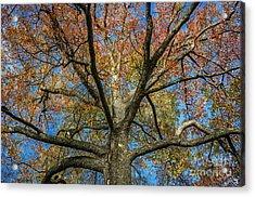 Autumn Tree Acrylic Print by John Greim