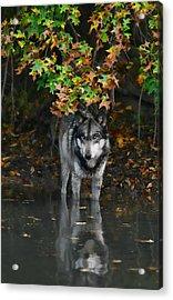 Autumn Wolf Acrylic Print by Shari Jardina