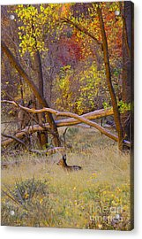 Autumn Yearling Acrylic Print by Dennis Hammer