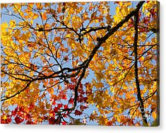 Autumnal Acer Palmatum Matsumurae Acrylic Print by Tim Gainey