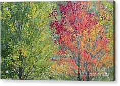 Autumnal Aspen Trees Acrylic Print by Tim Gainey