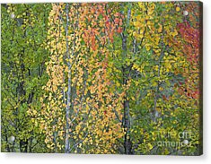 Autumnal Aspens Acrylic Print by Tim Gainey