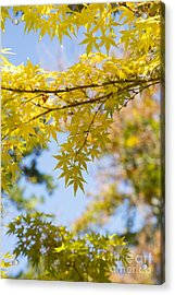 Autumnal Coral Bark Maple Leaves Acrylic Print by Tim Gainey