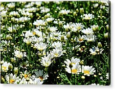 Acrylic Print featuring the photograph Avalanche Sun Daises by Monte Stevens