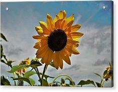 2001 - Awakening Sunflower Acrylic Print
