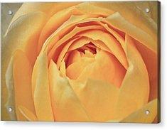 Awakening Yellow Bare Root Rose Acrylic Print