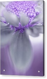 Awashed In Lavender Acrylic Print