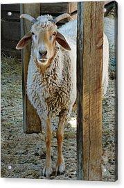 Awassi Sheep Acrylic Print