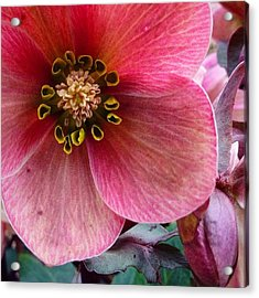 Awesome Hellebore Flower Acrylic Print