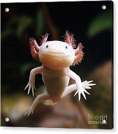 Axolotl Face Acrylic Print