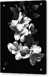 Azaela Blossom In Black And White Acrylic Print