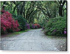 Azaelas Bloom Under Mossy Oaks Acrylic Print