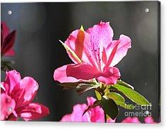 Azalea Blossom Acrylic Print