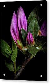 Acrylic Print featuring the photograph Azalea Buds by Richard Rizzo
