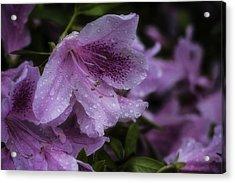 Azalea In Bloom Acrylic Print