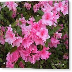 Azalea Watercolor  Acrylic Print by Fred Jinkins