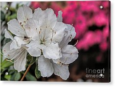 Acrylic Print featuring the photograph Azaleas In Turtle Creek by Diana Mary Sharpton