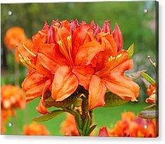 Azaleas Orange Red Azalea Flowers 11 Botanical Giclee Art Baslee Troutman Acrylic Print by Baslee Troutman