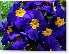 Acrylic Print featuring the photograph Azure Primrose by Michiale Schneider