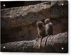 Baboon Brothers Acrylic Print