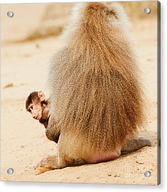 Baboon With A Baby  Acrylic Print by Nick  Biemans