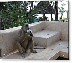 Baboon With A Sweet Tooth Acrylic Print