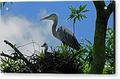 Baby And Mom Great Blue Heron Acrylic Print