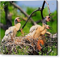 Baby Anhinga Chicks Acrylic Print by Barbara Bowen