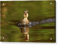 Baby Animal Series - Hunting Duckling Acrylic Print