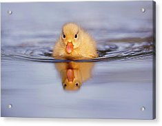 Baby Animals Series - Yellow Duckling Acrylic Print