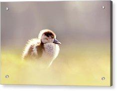 Baby Animals Series - Zen Gosling Acrylic Print