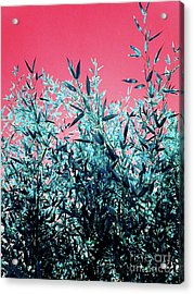 Baby Bamboo - Deep Pink And Blue Acrylic Print