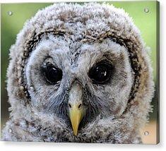 Baby Barred Owl-2 Acrylic Print