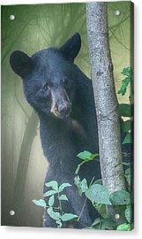 Baby Bear Takes A Peek Acrylic Print
