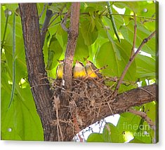 Baby Birds Waiting For Mom Acrylic Print