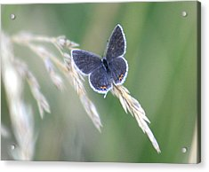 Acrylic Print featuring the photograph Baby Blue by David Dunham