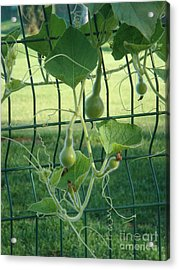 Baby Bottle Gourds Acrylic Print by Tierong Fu