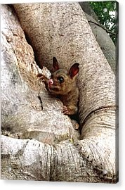 Baby Brushtail Possum Acrylic Print