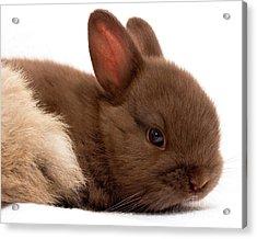 Baby Bunny  #03074 Acrylic Print