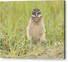 Baby Burrowing Owl Acrylic Print by Keith Lovejoy