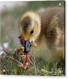 Baby Chick With Water Flowers Acrylic Print