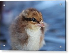 Baby Chicken Acrylic Print by Angie Wingerd