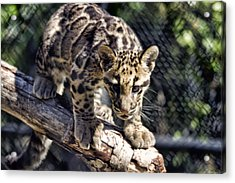 Baby Clouded Leopard Acrylic Print