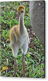 Baby Crane At A Month Old Acrylic Print