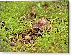 Baby Eastern Box Turtle Acrylic Print