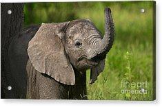 Baby Elephant Smelling Acrylic Print
